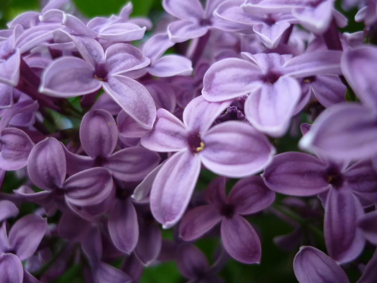 aerin Lilac Path