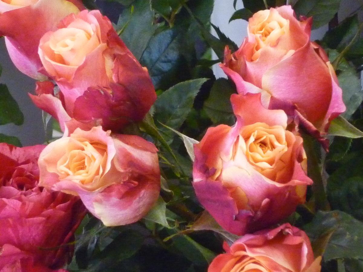 Rose Evening