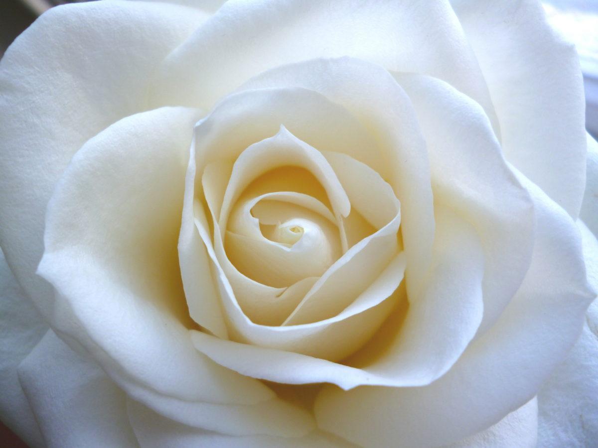 Gabrielle Chanel rosa bianca